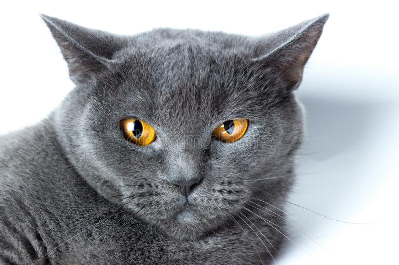 Portrait of a british smooth-haired blue cat close-up stock photos