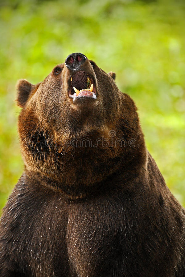 Portrait of brown bear. Dangerous animal with open muzzle. Face portrait of brown bear. Bear with open muzzle with big tooth. Brow. Portrait of brown bear stock images