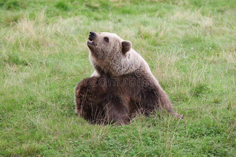 Brown bear in the nature royalty free stock images