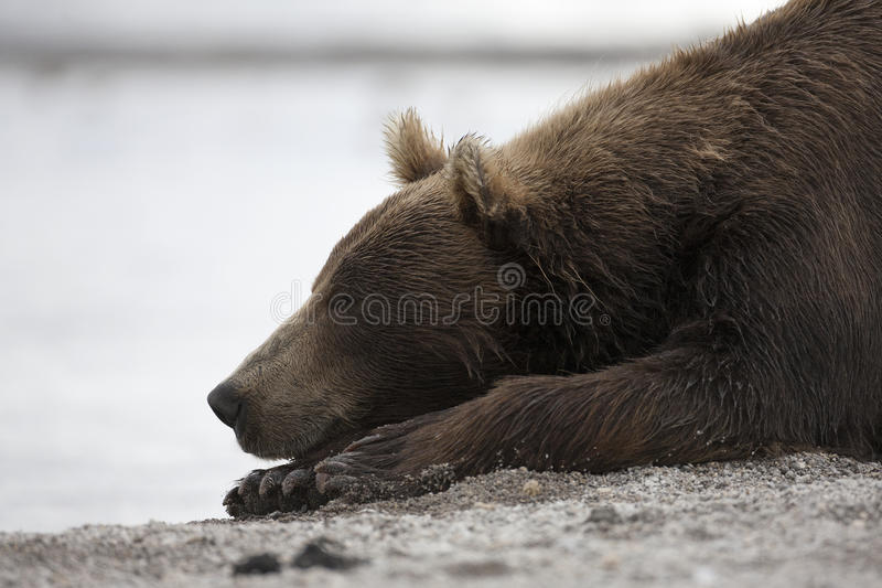 Portrait of a brown bear sleeping on the shore of lake royalty free stock photo
