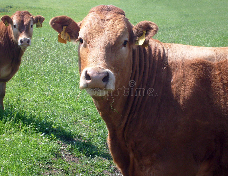 Download Portrait of brown beef cow stock photo. Image of animal - 5429166
