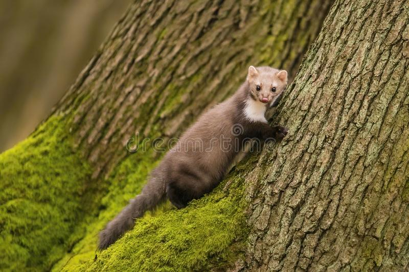 Portrait of brown colored white breasted marten, Martes foina, with fluffy fur. Black eyes and pink nose climbing on tree trunk covered with green moss, a fall royalty free stock photo