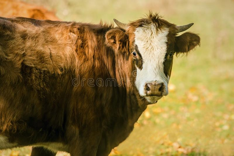 Portrait of brown cow with white face royalty free stock images