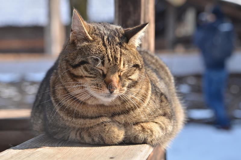 Portrait of a brown cute tabby cat sleeping. Front view of a brown tabby cat sleeping on a wooden bench outdoor on a sunny day royalty free stock image