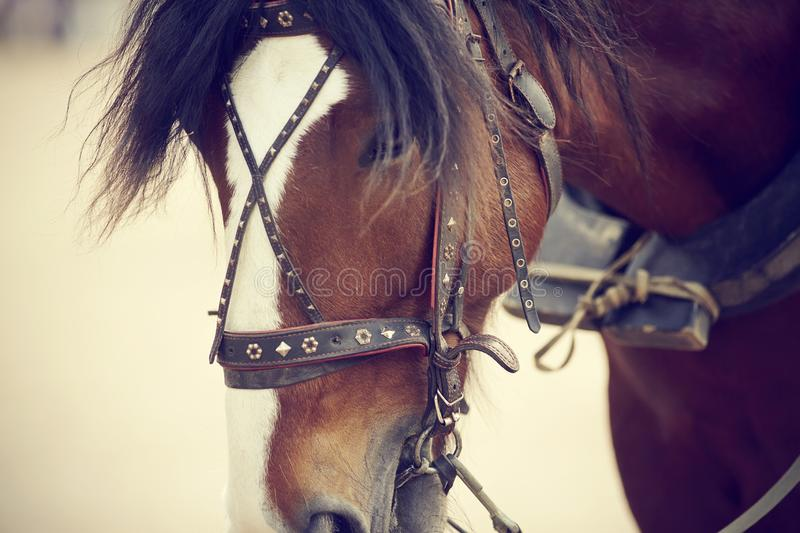 Portrait of a draught horse harnessed to a carriage stock images