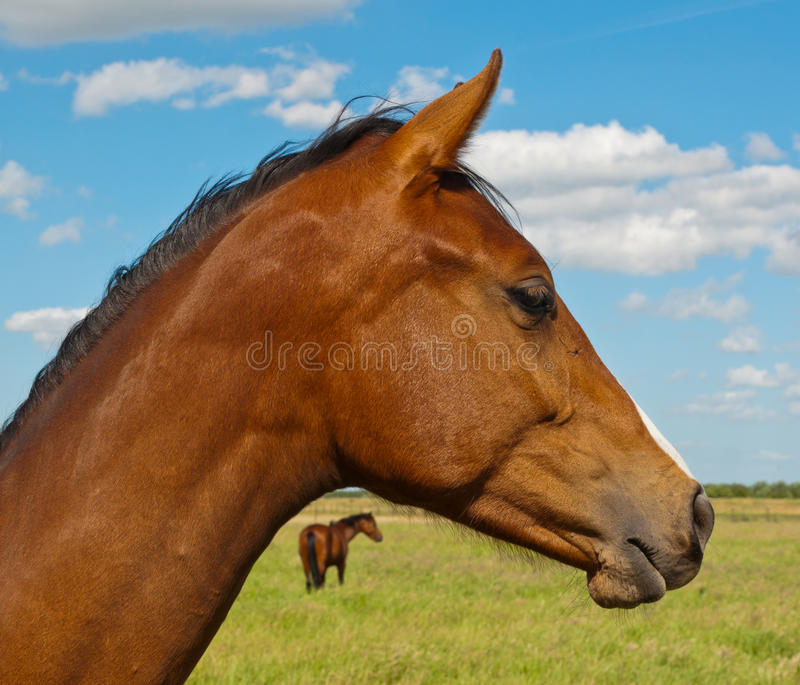 Portrait of a brown horse royalty free stock images