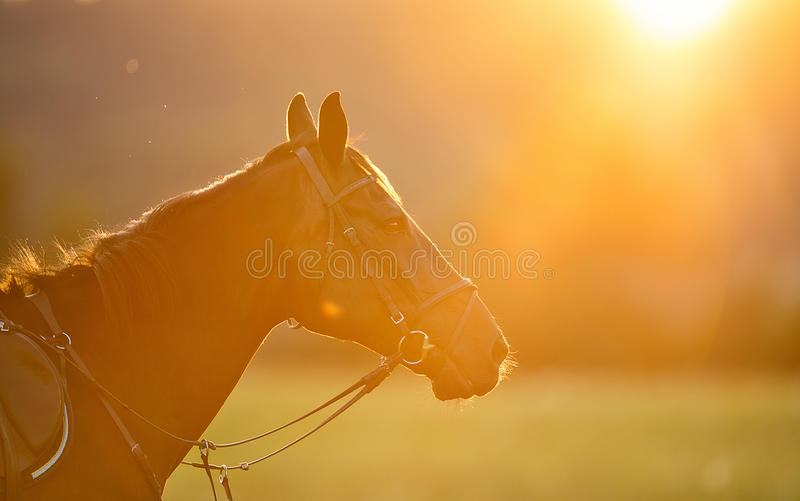 Portrait of brown horse in backlight of summer sunset royalty free stock photography