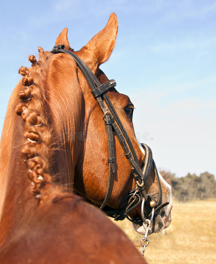 Download Portrait Of Brown Horse From Behind Stock Photo - Image: 16552084