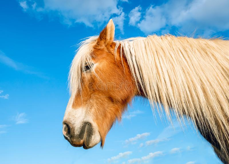 Portrait of a brown horse with blond mane stock photos