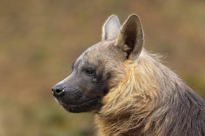 Portrait of Brown Hyena, Parahyaena brunnea royalty free stock image