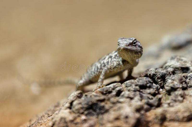 Portrait brown lizard sitting on a brown stone stock photo