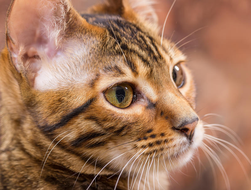 Portrait of brown mackerel tabby cat stock images