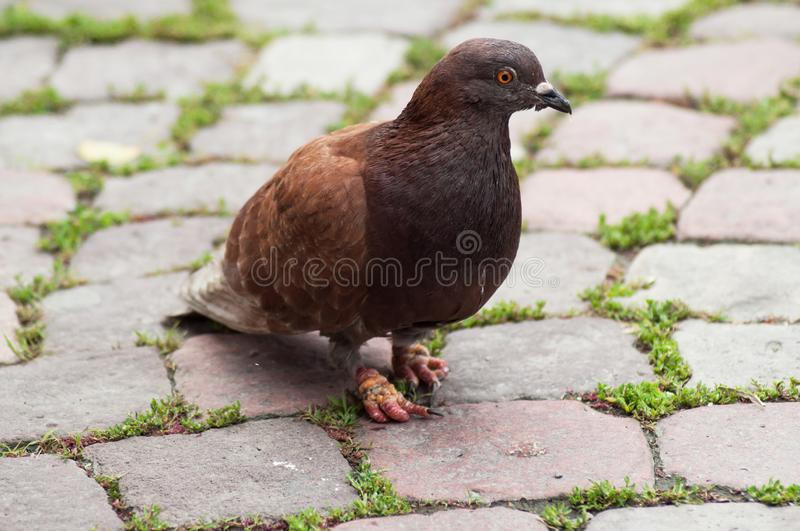 Brown pigeon walking on cobblestone place stock photo