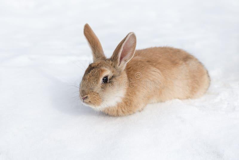 Brown rabbit on white snow royalty free stock photo