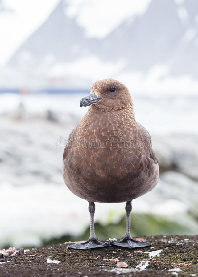 Portrait of brown skua, Stercorarius antarcticus , also known as the Antarctic skua in Petermann Island of the northwest royalty free stock photo