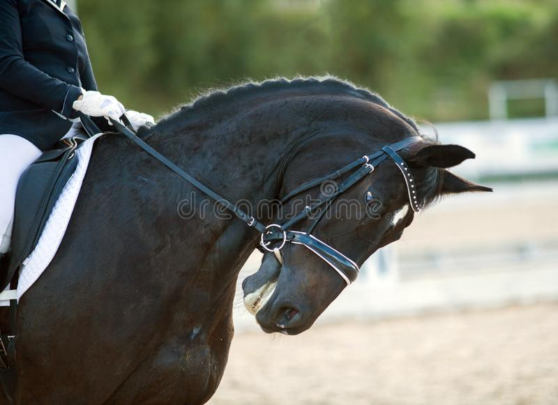 Portrait of brown sports horse with a bridle and rider hand in a white glove holding a leash. Equestrian sport stock photo