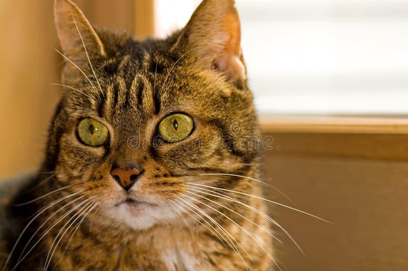 Portrait of Brown Tabby Cat