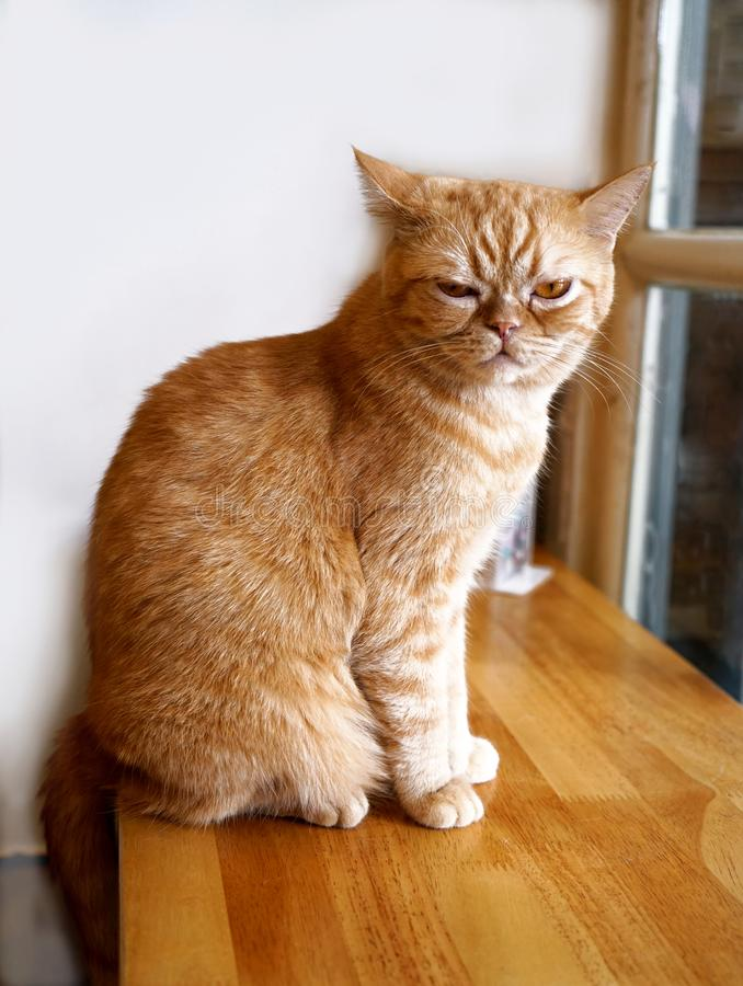 Portrait of cute brown tabby cat. Portrait of brown tabby cat, eyes stared straight ahead and sitting on side wooden table side window stock images