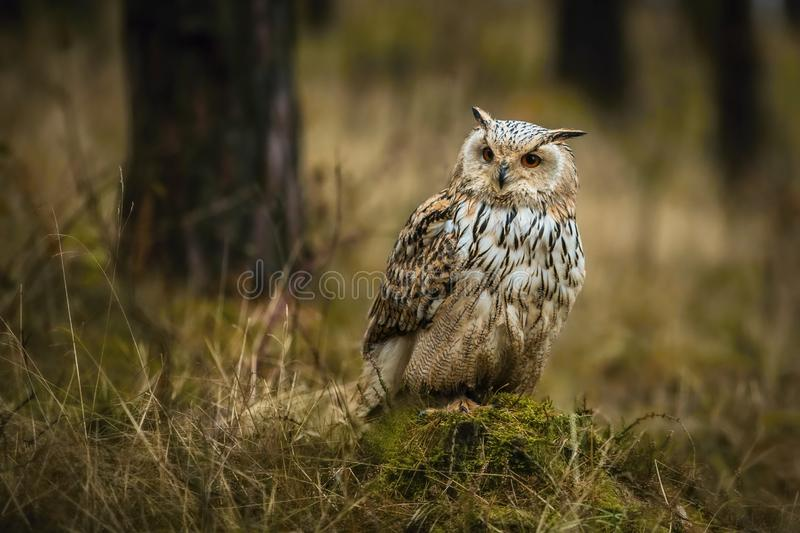 Portrait of brown, white and black colored Eurasian eagle-owl, Bubo bubo sibiricus. With orange eyes sitting on green moss in a dark forest, dry grass, trees stock photos