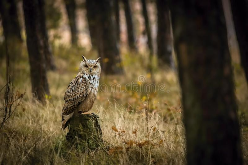 Portrait of brown, white and black colored Eurasian eagle-owl, Bubo bubo sibiricus, in the woods. Portrait of brown, white and black colored Eurasian eagle-owl royalty free stock images