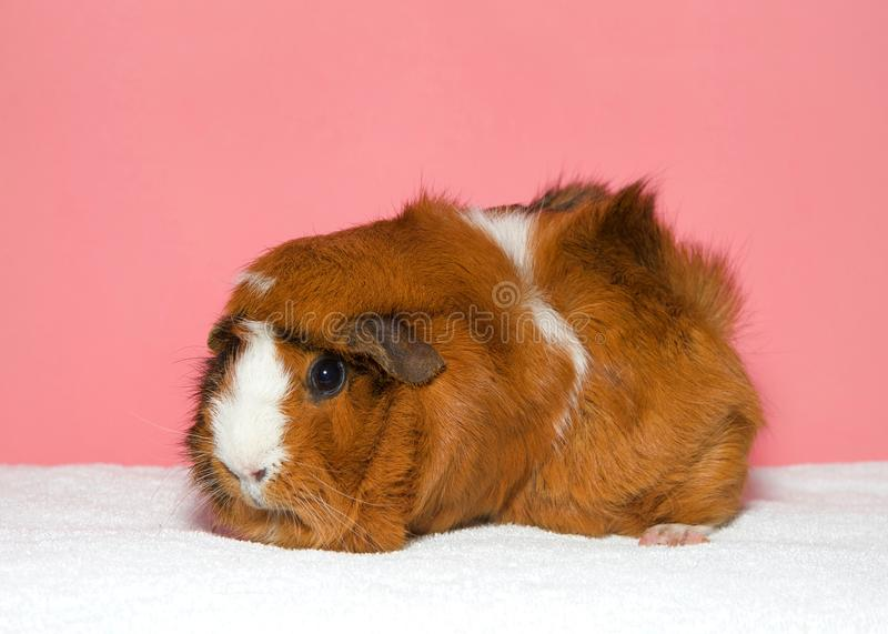 Profile of a brown and white guinea pig on pink background stock photos