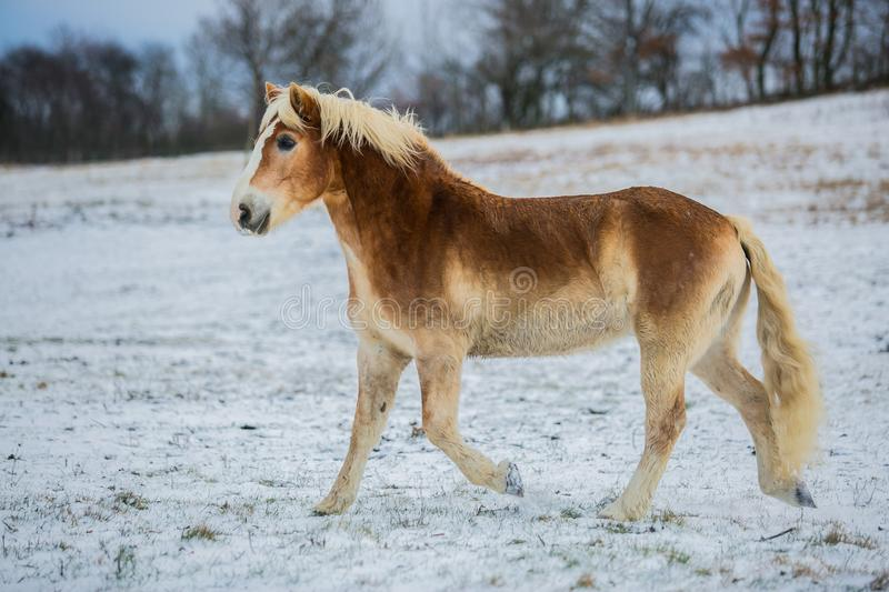 Portrait of brown and white haflinger horse on a winter day stock photography
