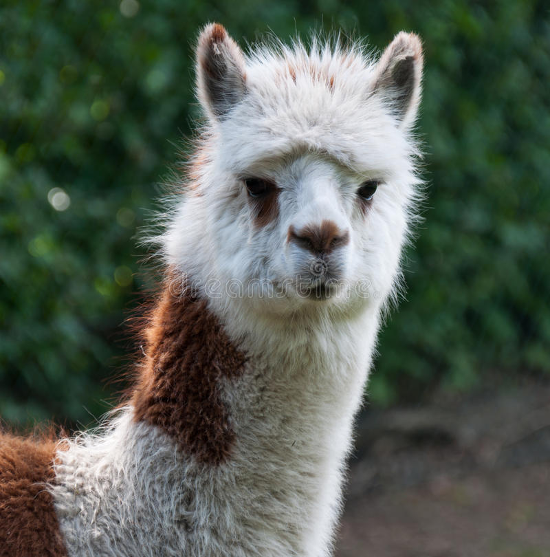 Portrait of brown and white Llama stock photography