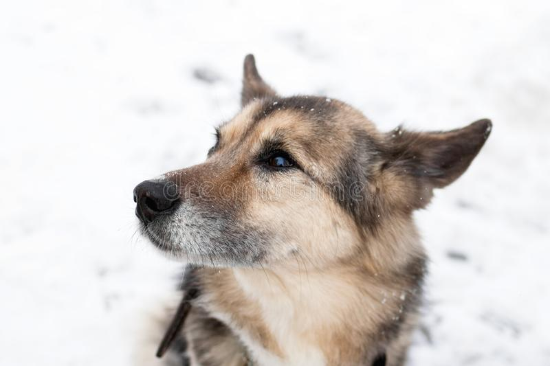 Portrait of brown and white short-haired mongrel dog with collar and address tag in a winter snowy park on a walk stock photography
