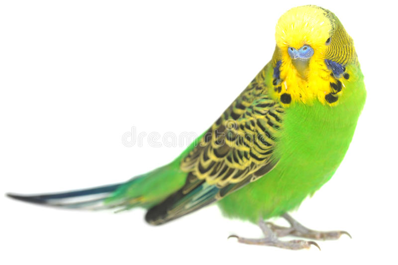 Download Portrait Of  Budgerigar Royalty Free Stock Photo - Image: 11857805