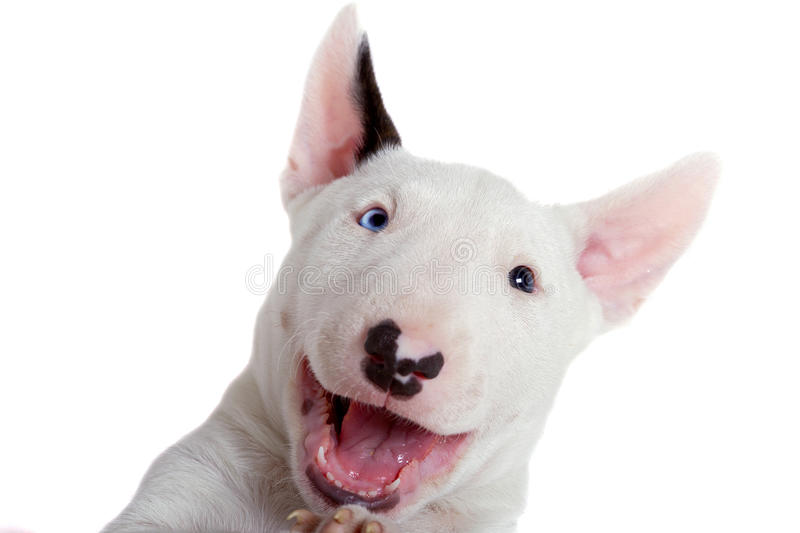 Download Portrait Of Bullterrier Puppy Royalty Free Stock Photos - Image: 22525138
