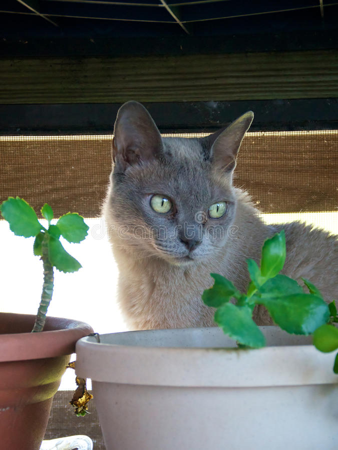 Portrait of Burmese Cat with plant. A Grey charcoal colored purebred Burmese cat is looking away from the camera royalty free stock image