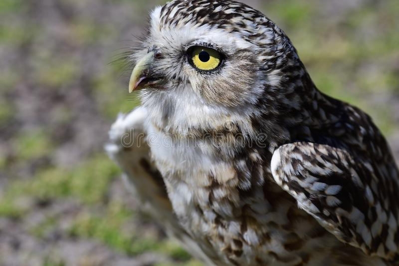 Burrowing owl Athene cunicularia. Portrait of a burrowing owl Athene cunicularia perching on the ground stock photo