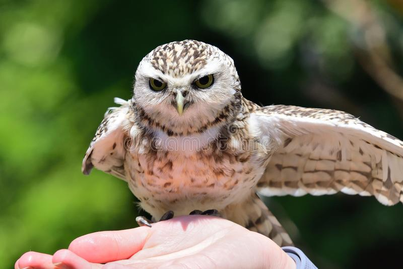 Burrowing owl Athene cunicularia. Portrait of a burrowing owl Athene cunicularia perching in a persons hand stock image
