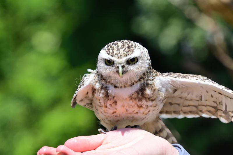 Burrowing owl Athene cunicularia. Portrait of a burrowing owl Athene cunicularia perching in a persons hand royalty free stock photos