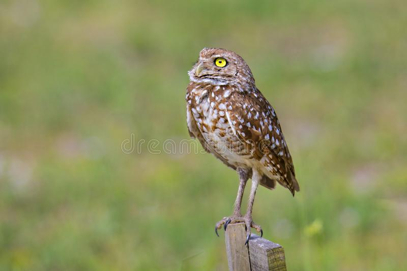 Portrait Of A Burrowing Owl. Over a green bokeh background stock photo