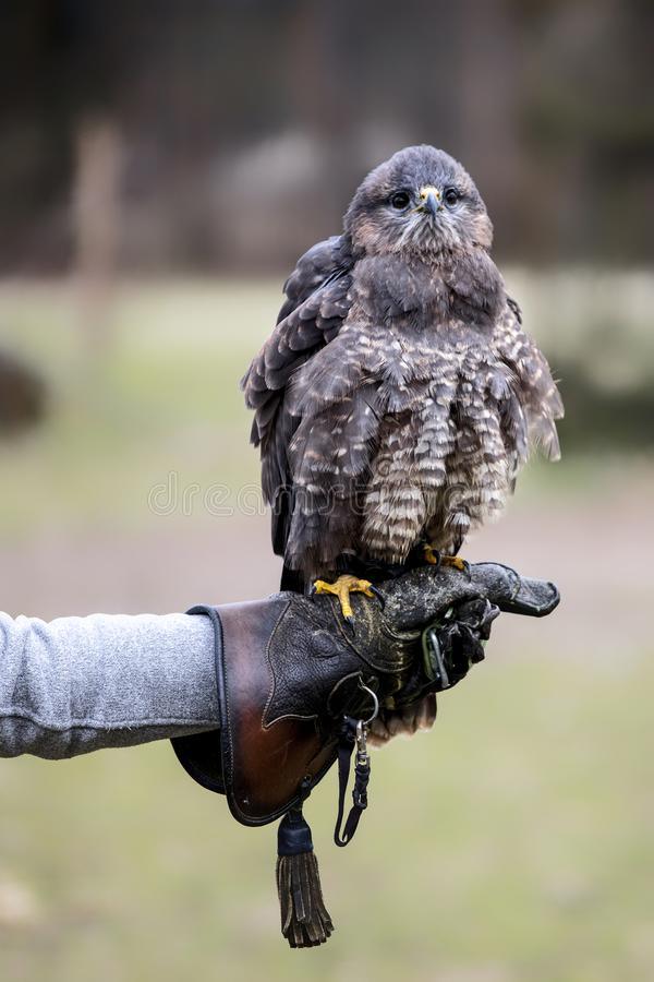 Portrait of buteo buteo. On falconer glove royalty free stock photos