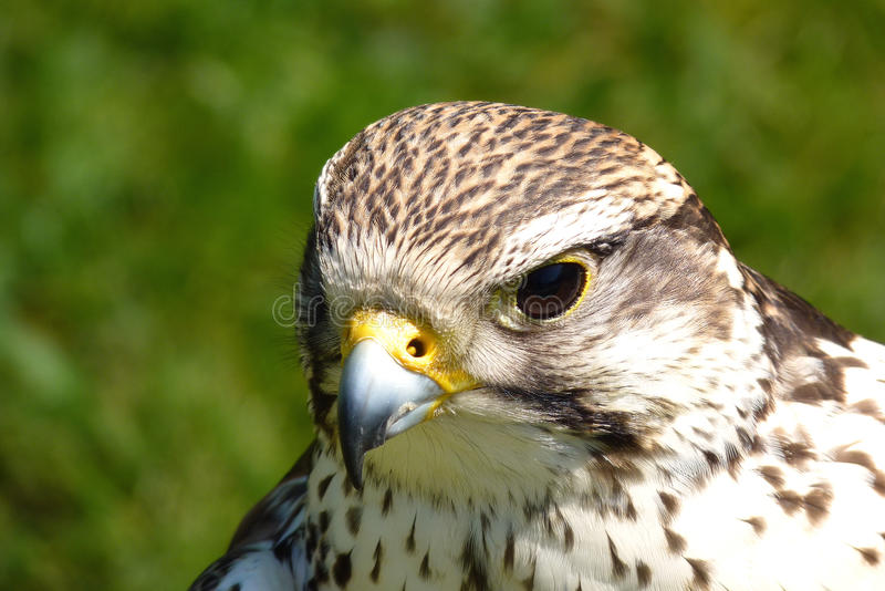 Portrait of buzzard