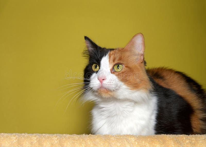 Portrait of a Calico cat royalty free stock images