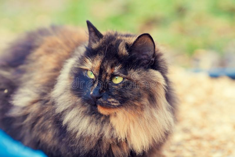 Portrait of the calico cat. Outdoor in autumn stock photo