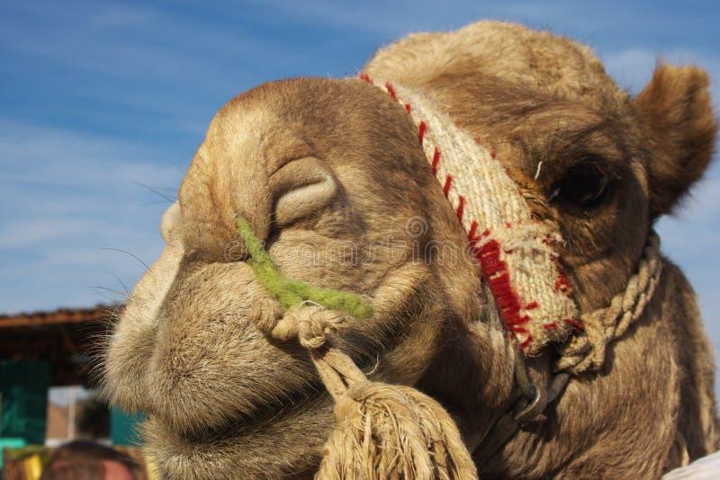 Download Portrait of camel stock photo. Image of single, details - 17319520