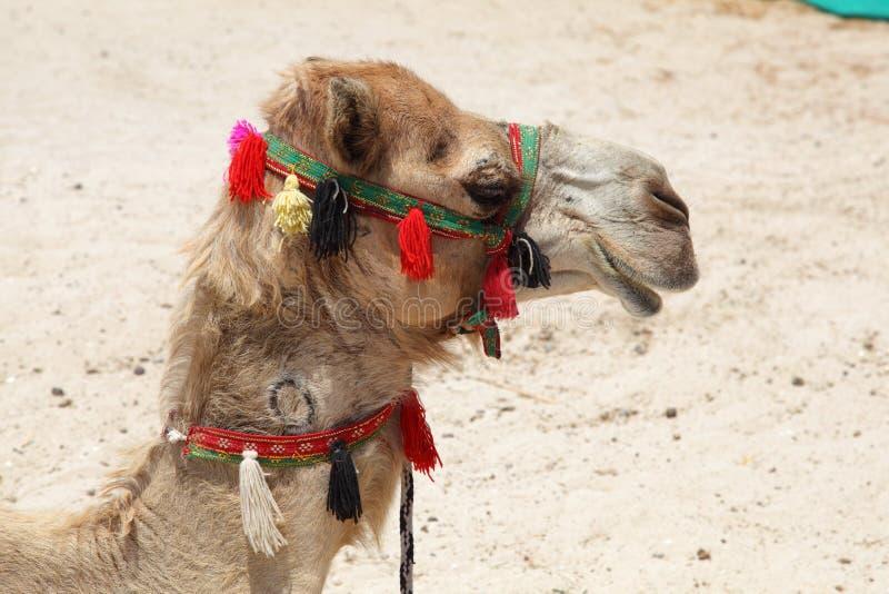 Portrait Of A Camel Stock Photos