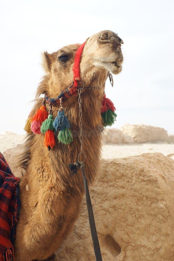 Download Portrait of camel stock photo. Image of heat, east, bedouin - 5371050