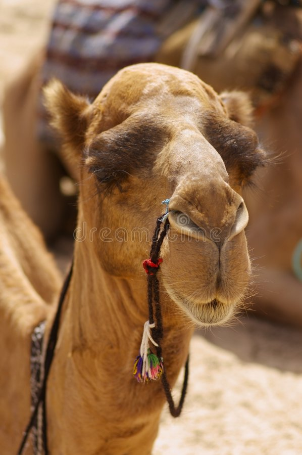 Portrait of camel stock photography