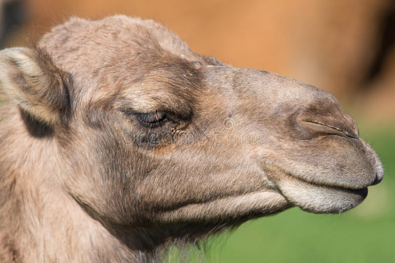 Portrait of a Camel. royalty free stock image