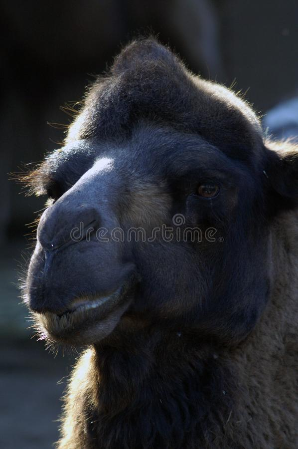 Portrait of a camel in contrast lighting. Sunlight created a halo around the head of the camel. Big black eye. Close-up portrait. Beautiful muzzle of an animal stock photo