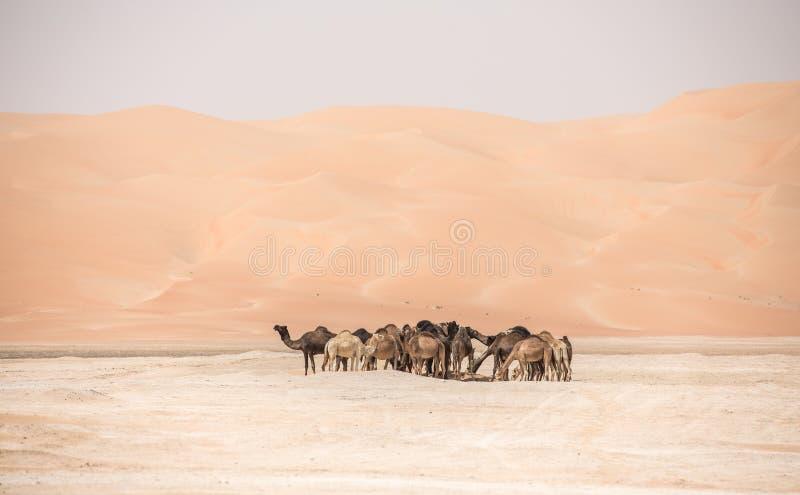 Portrait of camels in the desert. Liwa desert, UAE stock image