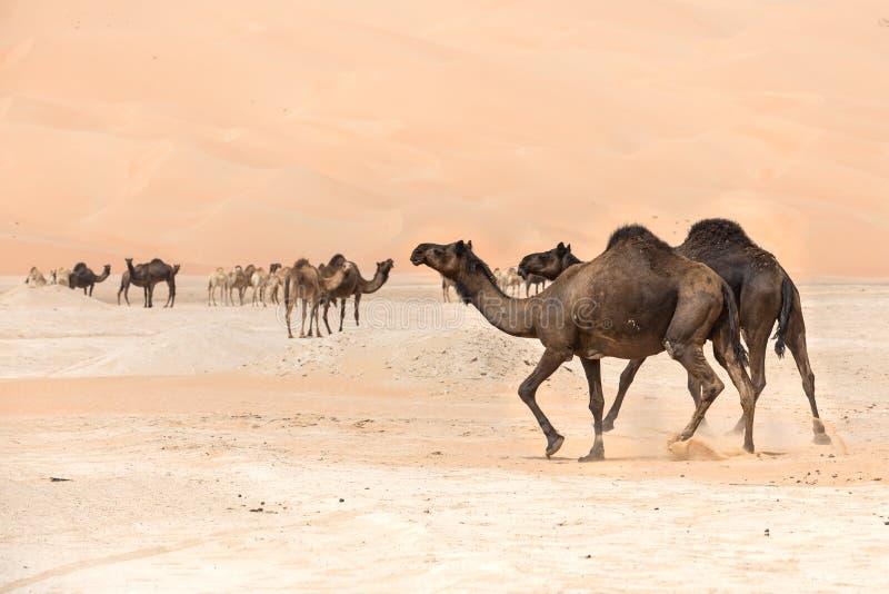 Portrait of camels in the desert. Liwa desert, UAE royalty free stock photo