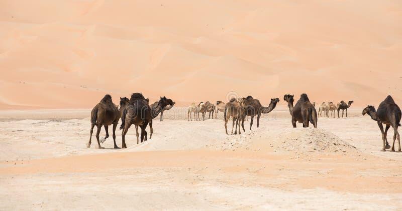Portrait of camels in the desert. Liwa desert, UAE royalty free stock images