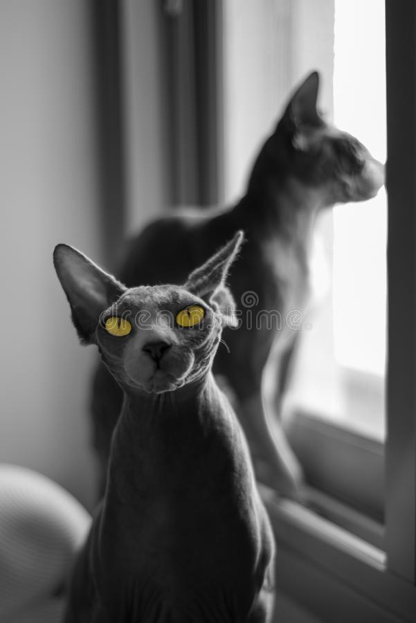 Portrait of 2 Canadian Sphynx cats royalty free stock images