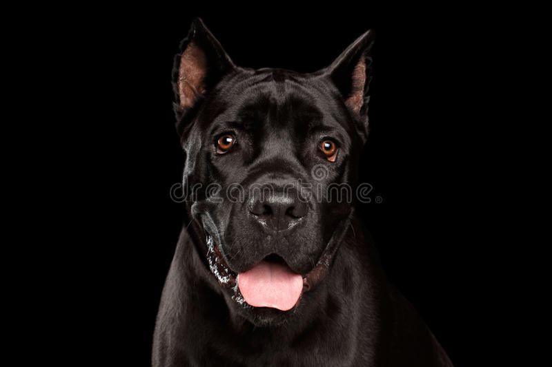 Portrait Cane Corso Dog on Black stock images